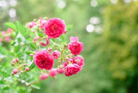 rose bush flowers in garden during blossoming period Standard-Bild