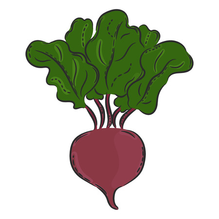 market gardening: A vector hand drawn illustration. Isolated Beetroot, beet. Detailed vegetarian food drawing. Farm market product. Illustration