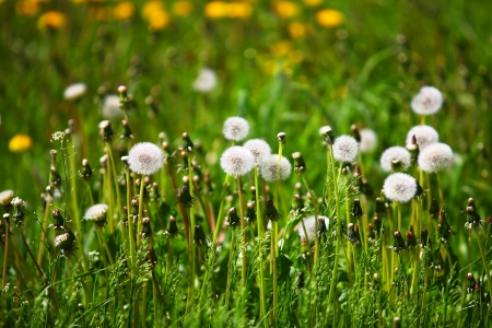 White air dandelions