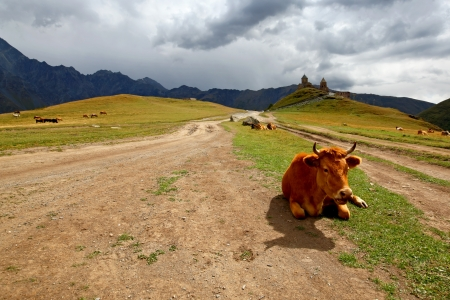 Cow on a mountain meadow Stock Photo