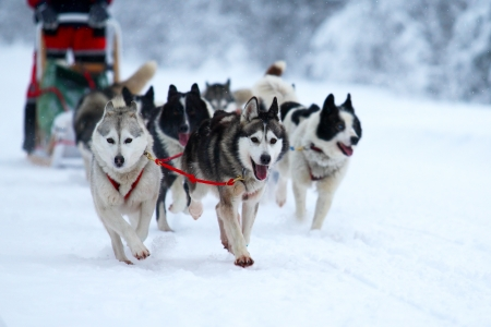 Race of draft dogs