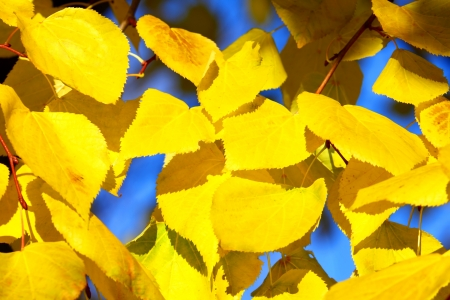 Background  yellow leaves of a linden Stock Photo