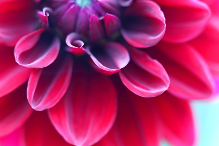 Red dahlia close up photo