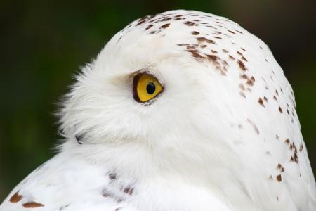 Snowy owl photo