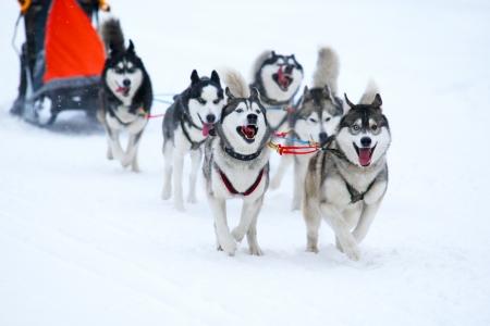 Race van de ontwerp-honden