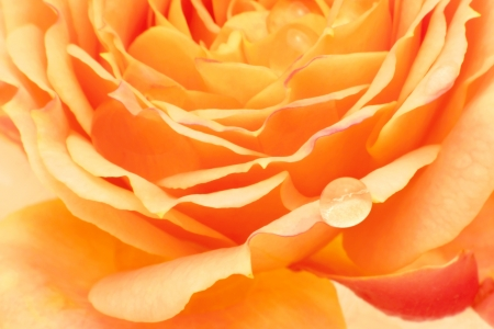 Yellow rose with dew drops close up Stock Photo