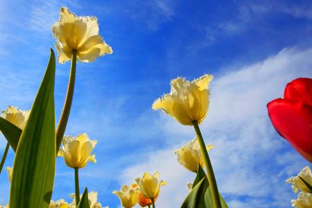 Yellow tulips close up background Stock Photo