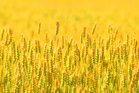 Farmer field of wheat background photo
