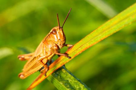 langosta: Locust en una hierba