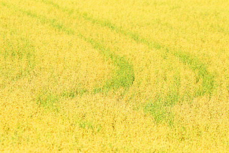 agrarian: Field of cereals. Crop. Agrarian farmer business.