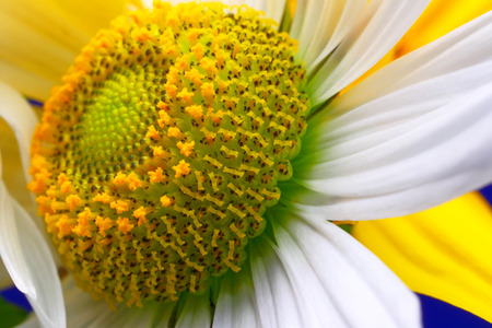 Flower camomile close up abstract background