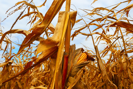 maize cultivation: Farmer field. Corn crops. Stock Photo
