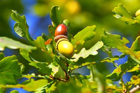 acorn tree: Background of oak leaves and acorns