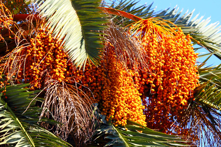 date palm tree: Date palm tree.