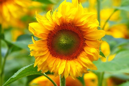 Sunflower close up.