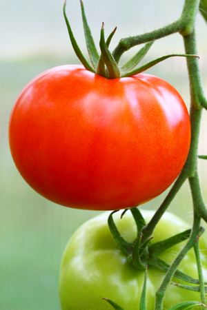 agricultural industry: Red ripe tomato on a branch. Agricultural industry.