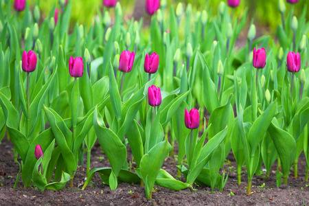 Red tulips. Natural background. Stockfoto