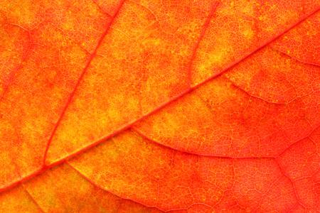 leaf close up: Maple leaf close up background