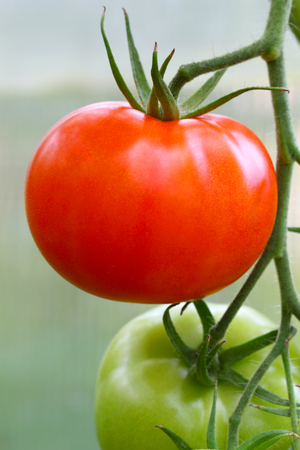 Red ripe tomato on a branch.Agricultural industry Stock Photo