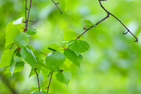 Birch branch.Nature background. Stok Fotoğraf