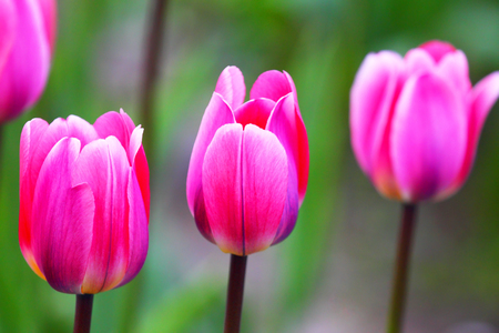 Blooming tulips.The natural background. Stock Photo