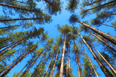 Natural background of the forest. Bottom view