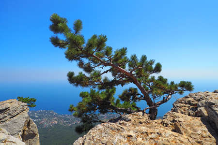 Yalta. Top view. Mount AI-Petri. Crimean landscape. Natural background with a pine branch in the foreground