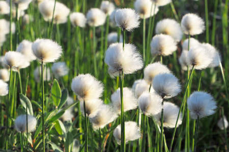 Flowers of the polar tundra. Cotton grass The landscape of the tundra. Flowering of polar vegetation in summer