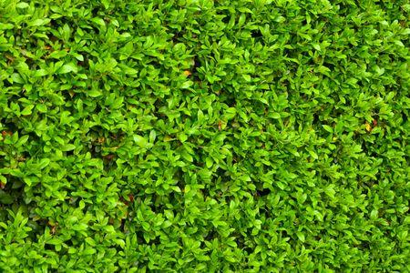 Grüne Büschen Blätter Hedge Hintergrund