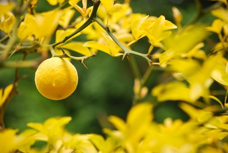 spinous: Mellow lemon hanging on spiny branch