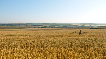 Rural country with wheat field under blue sky Stock Photo