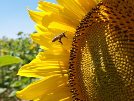 Beautiful view at honeybee pollinating pretty sunflower photo