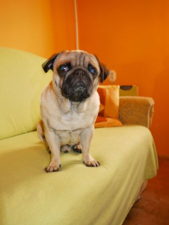 Pretty Pug dog seated on yellow couch photo