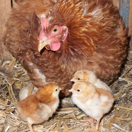 Nesting clocking hen and few baby chicks photo