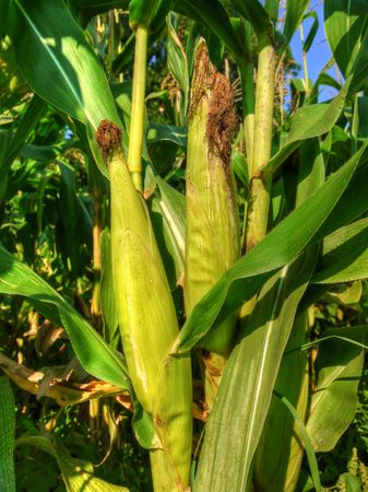 Two beautiful maturing corn ears on the stalk Stock Photo