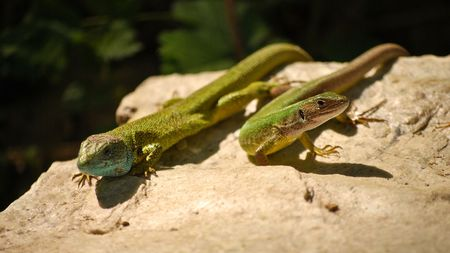 Two beautiful green lizard relaxing on the hot stone
