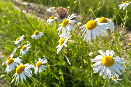 Brown butterfly pollinating flovers of Wild camomile photo