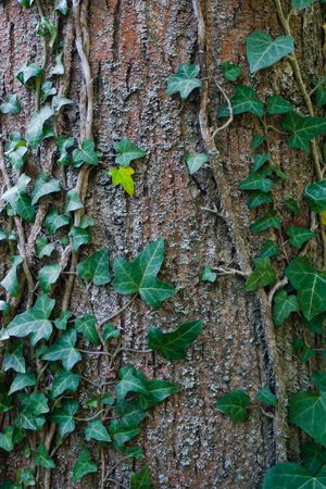 Schöne grüne Efeu Klettern bis die riesige Baumstamm