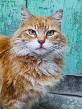 front facing: Beautiful cat portrait on a turquoise background