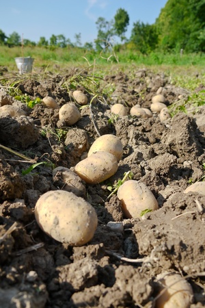 Field with harvested potatoes lying in the soil