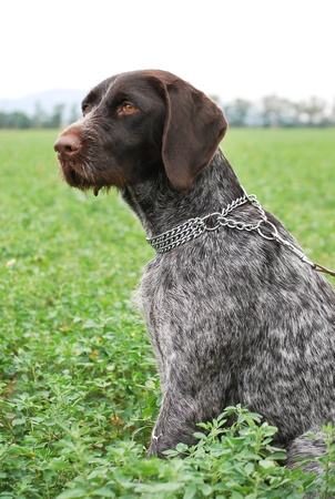 German Wirehaired Pointer sitting on the ground