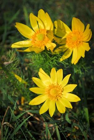 Drei Blumen Frühling Fasan Auge in der Nähe Lizenzfreie Bilder