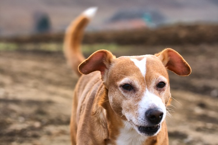 Portrait of a cute brown dog with field as background photo