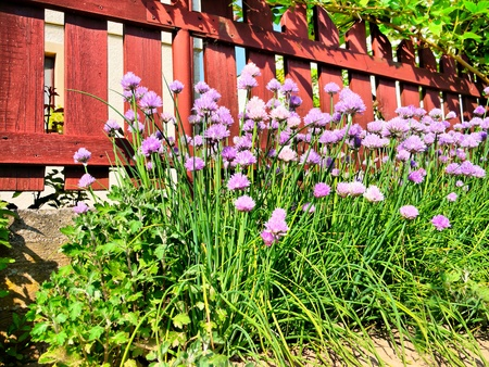 flowering chives near the wooden garden fences photo