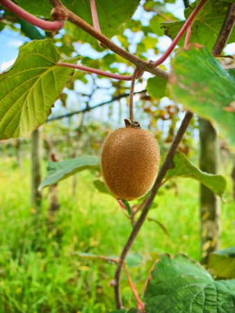single kiwi fruit hanging on a branch