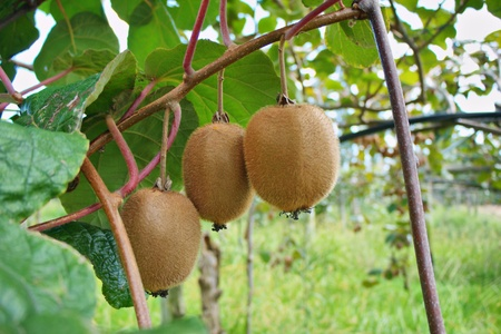 orchards with kiwi fruit hanging on a branch photo