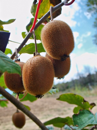 kiwifruit: branch with a group of hanging kiwifruit