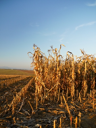 Field of corn being harvested in the autumn