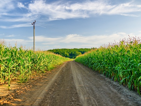 cornfield: dust country lane across the corn field Stock Photo