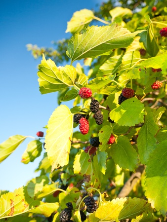 Branches of the mulberry tree with ripening fruits Stock Photo
